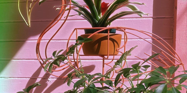 Pink Flamingo Plant