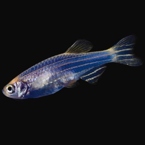 Danios GloFish