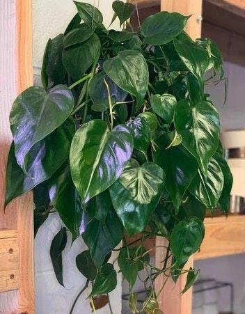 Cordatum - Heartleaf Philodendron