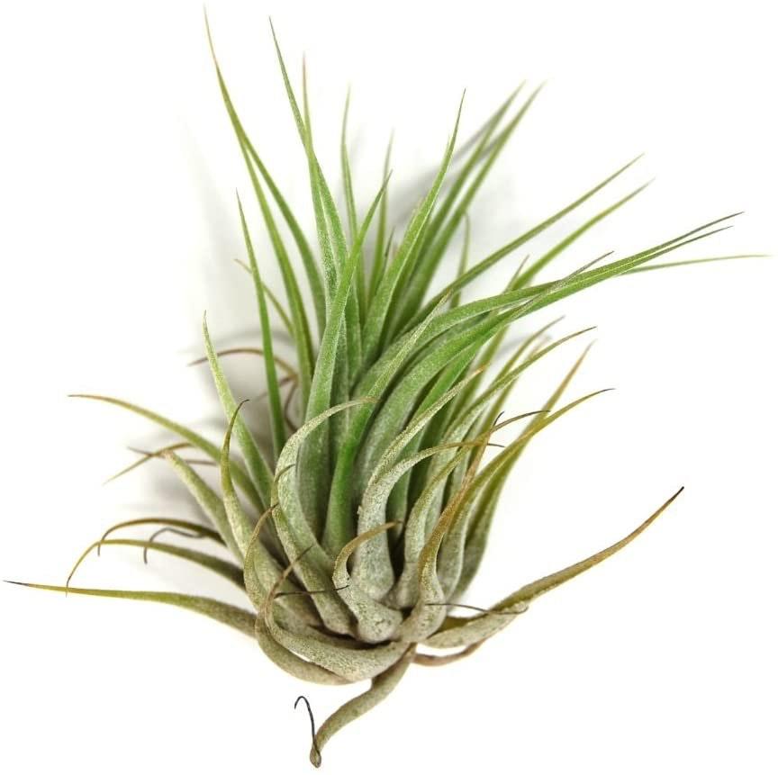 Tillandsia - Air Plants