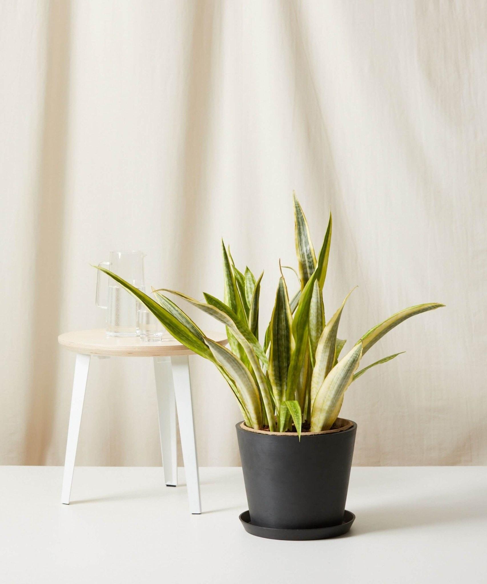 Sansevieria - Snake Plants