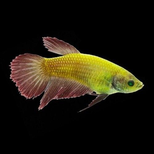 Betta GloFish