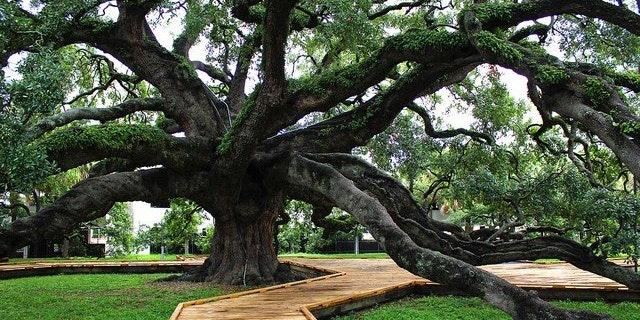 Treaty Oak Tree